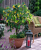 Abutilon, with large yellow flowers