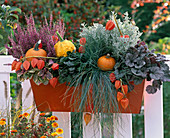 Magic autumn box, Heuchera 'Blueberry Muffin'
