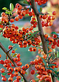 Pyracantha coccinea 'Teton' (Firethorn), branches with berries
