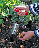 Plant tulipa (tulip) bulbs with onion planters