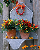 Galvanized wall shelf with Capsicum annuum 'Medusa'