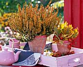 Calluna (Knospenblühende Sommerheide) orange besprüht