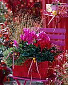 Cyclamen (cyclamen) red and pink, Thymus citriodorus