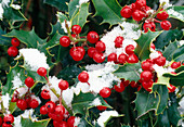 Ilex (holly), berries and leaves with snow