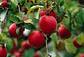 Malus 'Berner Rosenapfel' (apple), tree with red fruits
