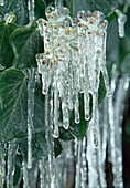 Icicles on fruits of Hedera (ivy)
