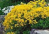 Alyssum montanum (Stoneweed)