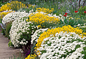 Alyssum, Iberis on wall in rock garden