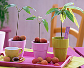 Litchi chinensis, young plants in pots on pink tray, fruits
