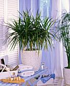 Plant in the bath, Dracaena marginata (dragon tree)