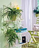 Plant in the bath, Chlorophytum laxum (green lily)
