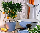Plant in bathroom, Citrofortunella microcarpa (Calamondin orange)