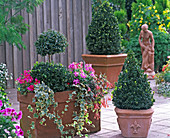 Buxus (box) double ball and pyramids in terracotta