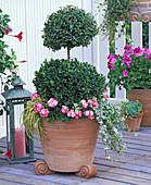 Buxus (box) double ball, replanted with Pelargonium