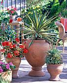 Yucca aloifolia (Palmlilie), Aloe , Pelargonium Pelgardini 'Contrast'