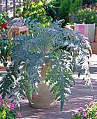 Cynara scolymus (artichoke) in light clay bucket