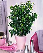 Ficus benjamina in pink planter on bathroom table, towel