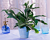 Platycerium bifurcatum in light blue planter on the table