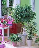 Ficus benjamina, variegated and as a stem, pteris ensiformis
