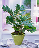 Zamia in conical green planter on table, espresso cup, book