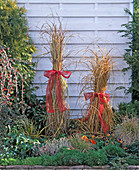 Miscanthus (miscanthus) tied together