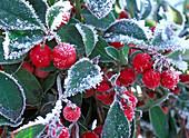 Gaultheria procumbens (raspberry) with rime
