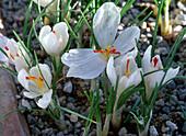 Crocus cartwrightianus 'Albus' (White Autumn Crocus)
