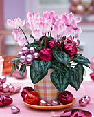 Cyclamen in a checkered pot with Christmas tree decorations