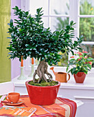 Ficus nitida 'Ginseng' as bonsai in red bowl on the table