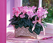 Cyclamen persicum in a square relief bowl at the window