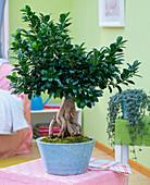 Ficus nitida 'Ginseng' as bonsai in blue bowl on wicker stool