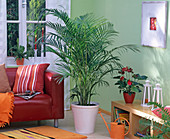 Chrysalidocarpus in white planter in the living room, Anthurium