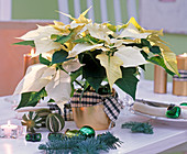 Euphorbia pulcherrima (Poinsettia) with checkered bow