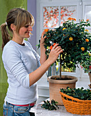 Pruning of potted plants in winter quarters. Woman cutting Lantana