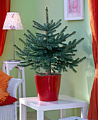 Picea pungens 'Glauca' as a living Christmas tree, unadorned