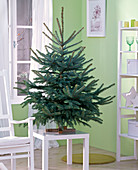 Picea pungens 'Glauca' as Christmas tree, unadorned