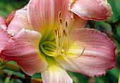 Hemerocallis hybrid 'Saxony pink Diamond' (Daylily)
