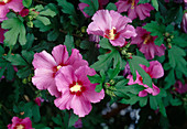 Hibiscus syriacus 'Woodbridge' (real rose sibling)