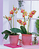 Phalaenopsis 'Anthura Athens' (Malay flower) in pink planters