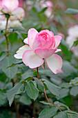 Flower of Rosa 'Honoré de Balzac' syn. 'Meiparnin', tea hybrid