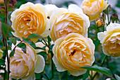 Rosa 'Graham Thomas' syn. 'Ausmas' flowers, often flowering
