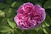 Rosa 'Souvenir de Malmedy' (Rose), Historische Rose, Strauchrose, Gallica-Rose, duftend, einmalblühend