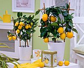 Citrus in white planters on the table, cup, tin can with lemons