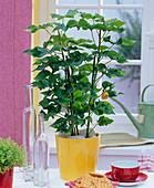 Fatshedera (ivy arum) in yellow planter