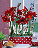 Hippeastrum, in dotted jardiniere, decorated with twigs