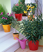 Container plants with pelargonium in cool staircase over winter