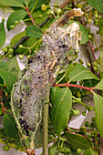 Spider moth on Euonymus europaeus
