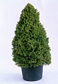 Picea glauca 'Conica' (Canadian spruce) in pot unadorned
