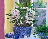 White dendrobium in blue painted jardiniere by the window, Ficus pumila