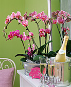 Phalaenopsis in front of a mirror, lucky pig, champagne bottle